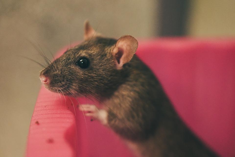 hnědý potkan